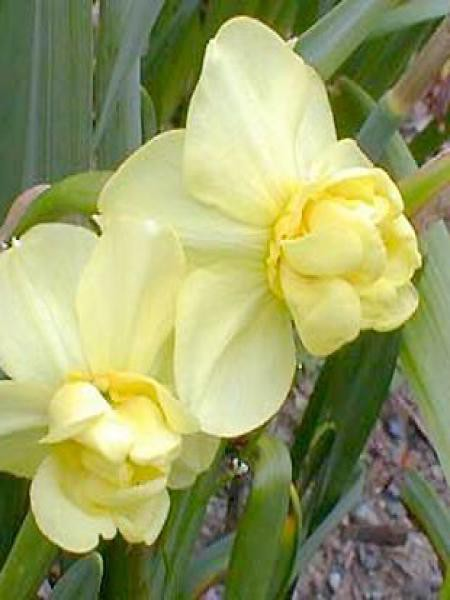 Narcisse poetaz 'Yellow Cheerfulness'