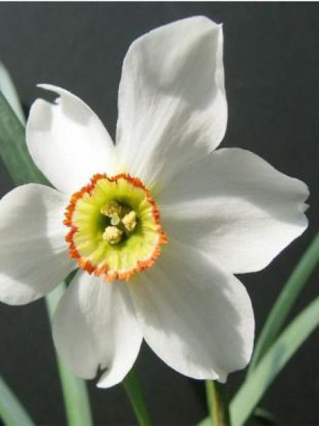 Narcisse  'Poeticus Recurvus'