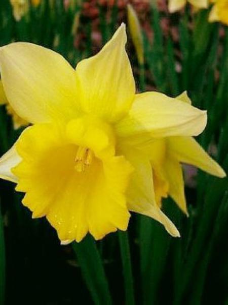 Narcisse trompette 'Le Premier'