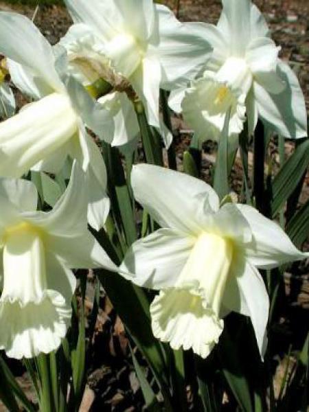 Narcisse trompette 'Mount Hood'