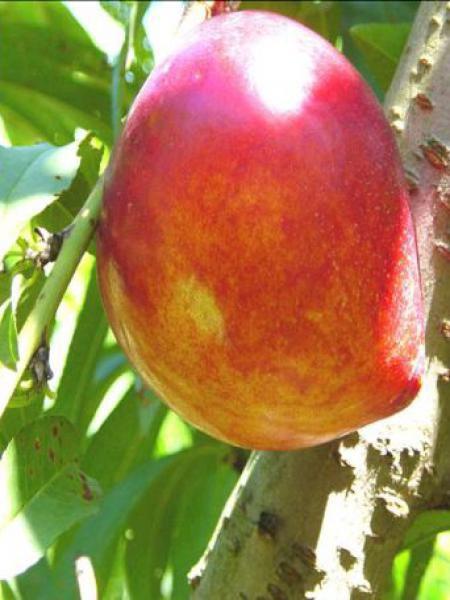 Nectarinier, brugnonier