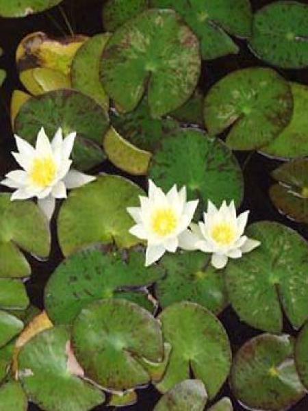 Nénuphar nain - Nymphaea tetragona - Le Jardin du Pic Vert
