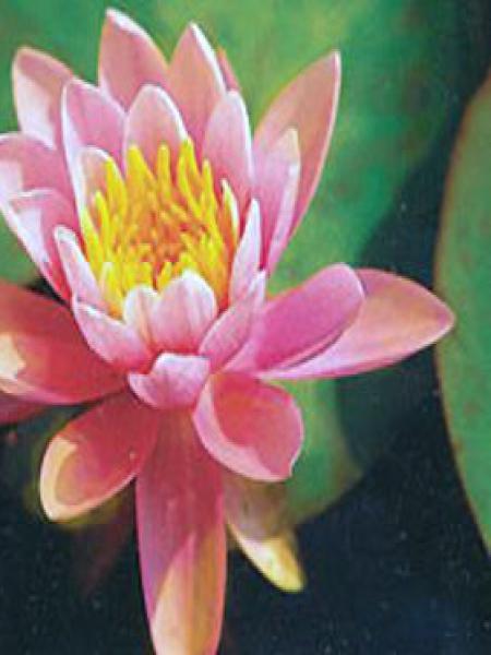 Nénuphar 'Rose Arey'