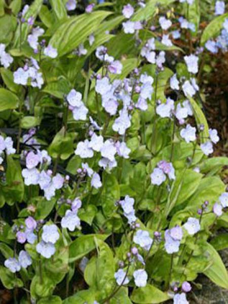 Nombril de Vénus 'Lilac Mist'®