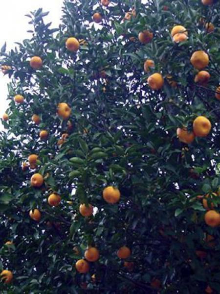 Oranger d'appartement, Calamondin