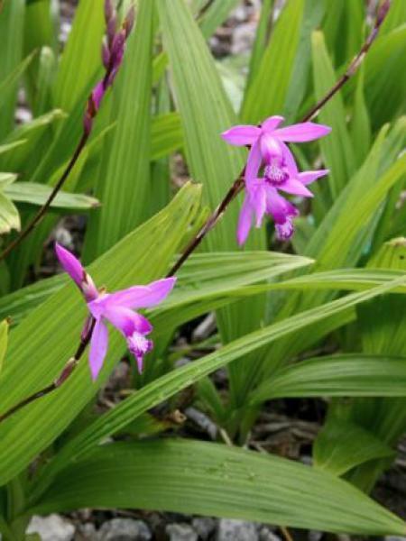 Orchidée jacinthe - Bletilla striata - Le Jardin du Pic Vert