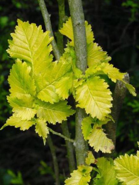 Orme à petites feuilles 'Wredei'