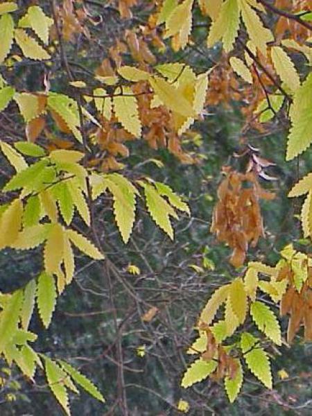 Orme de Sibérie à feuilles de charme