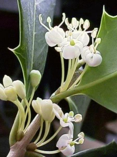 Osmanthe à feuilles variables 'Gulfide'