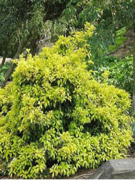 Osmanthe à feuilles variables 'Ogon'