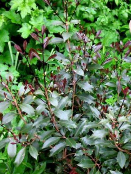 Osmanthe à feuilles variables 'Purpureus'