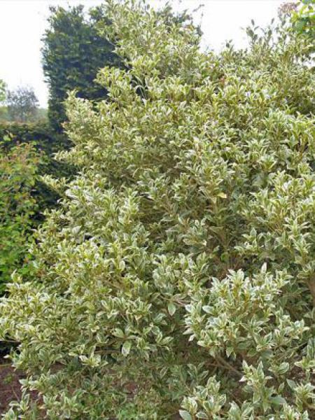Osmanthe à feuilles variables 'Variegatus'
