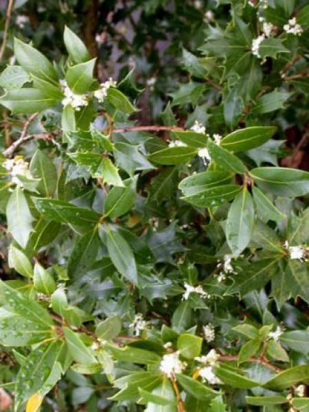 Osmanthe à feuilles variables