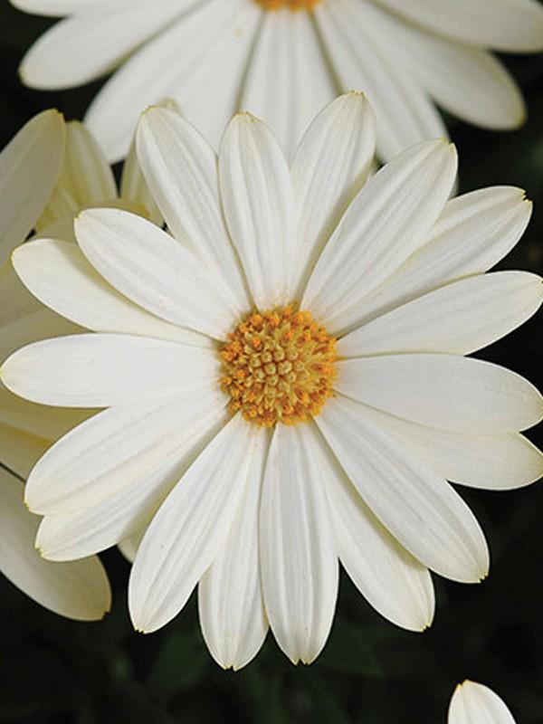 Osteospermum 'Jamboana New White'