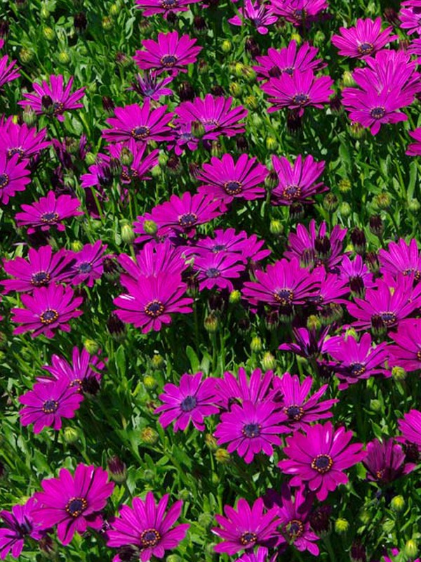 Osteospermum 'Mary'