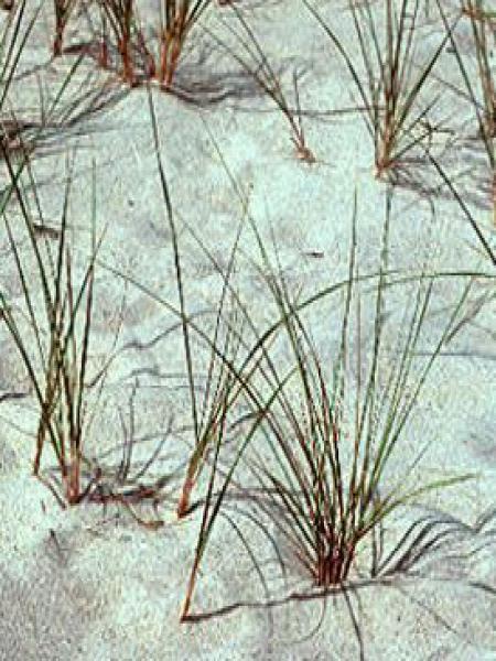 Oyat, Roseau des sables