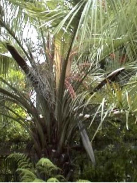 Palmier abricot, palmier à gelée