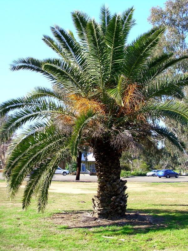 palmier de chine chamaerops excelsa le jardin du pic vert. Black Bedroom Furniture Sets. Home Design Ideas