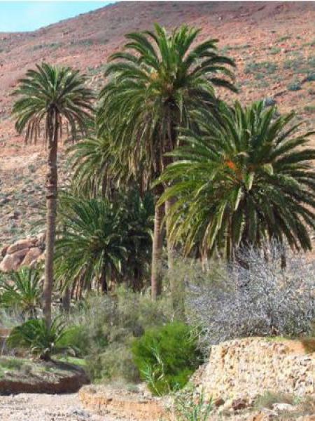 Palmier dattier des Canaries
