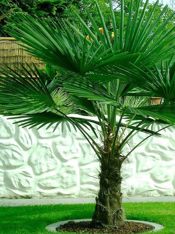 Chamaerops palmier achat en ligne sur jardin du pic vert - Image palmier ...