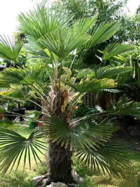 Palmier miniature de Chusan