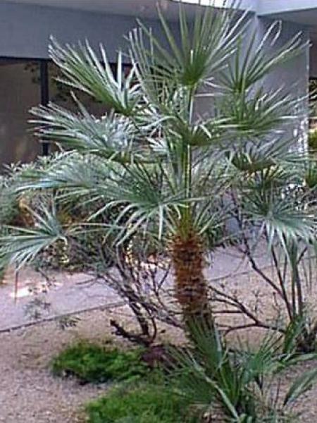 Palmier nain 'Cerifera'