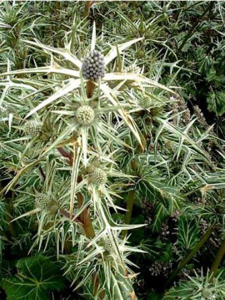 Panicaut, Chardon variifolium
