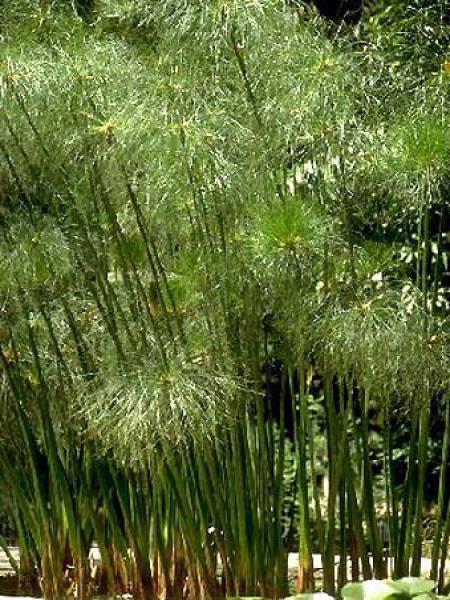 Papyrus du Nil, Souchet à papier
