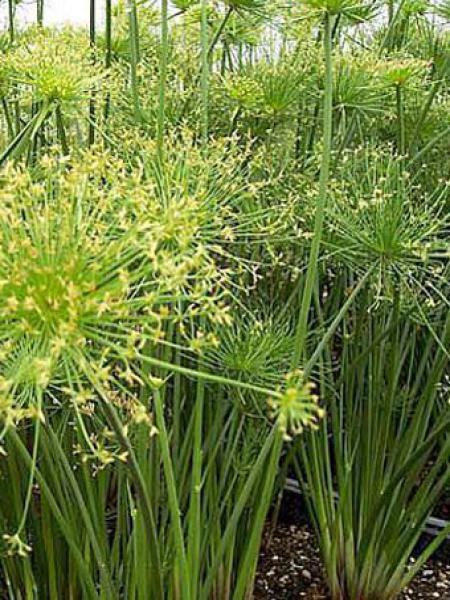 papyrus nain cyperus isocladus le jardin du pic vert. Black Bedroom Furniture Sets. Home Design Ideas