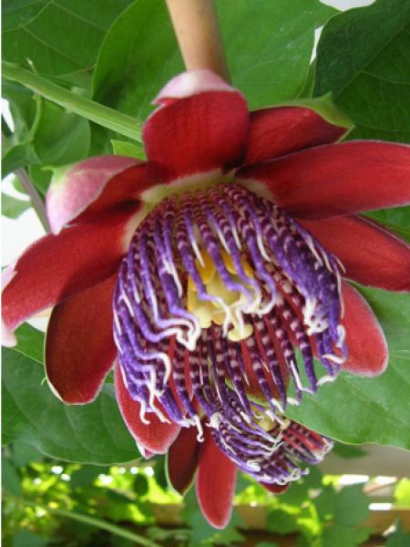 passiflore alata passiflora alata le jardin du pic vert. Black Bedroom Furniture Sets. Home Design Ideas
