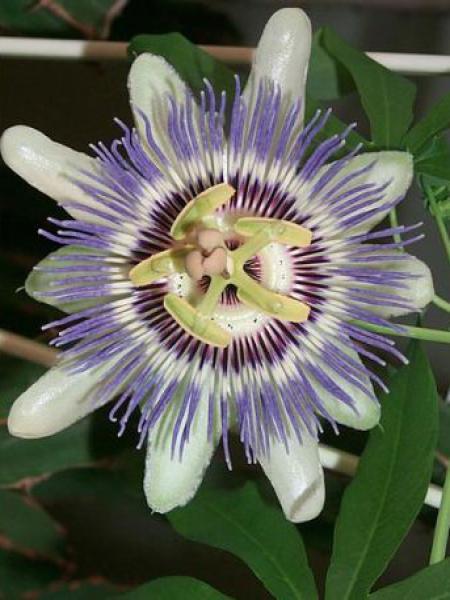 Passiflore bleue, Fleur de la passion