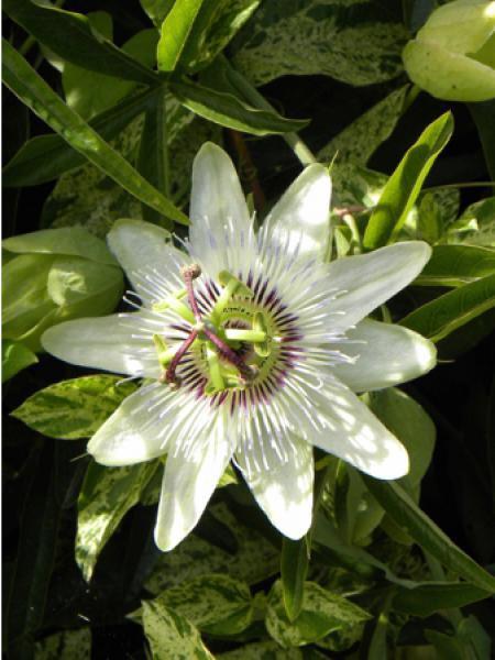 Passiflore, Fleur de la passion 'Clear Sky®'