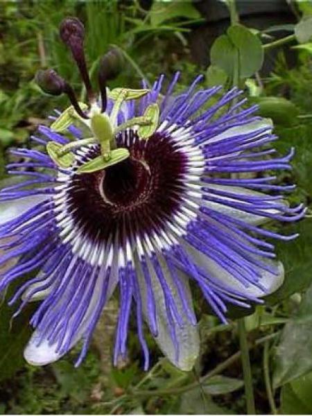 Passiflore, Fleur de la passion 'Purple Haze'