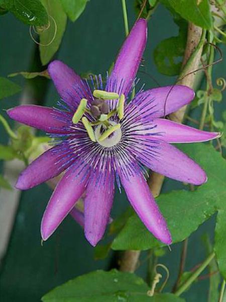 Passiflore 'Lavender  Lady'