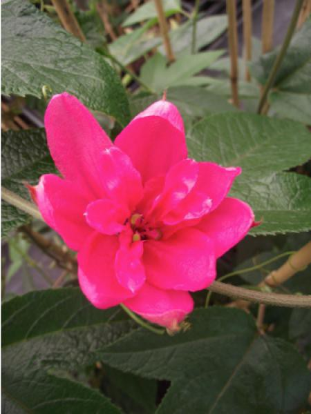 Passiflore 'Pink Passion®'