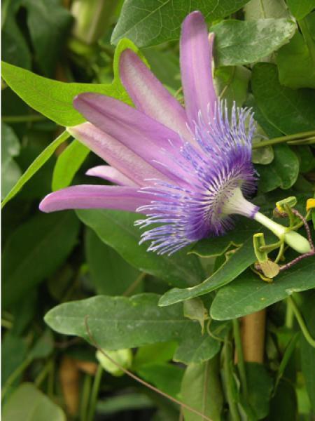 Passiflore 'Purple Passion®'