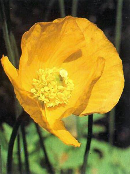 Pavot jaune