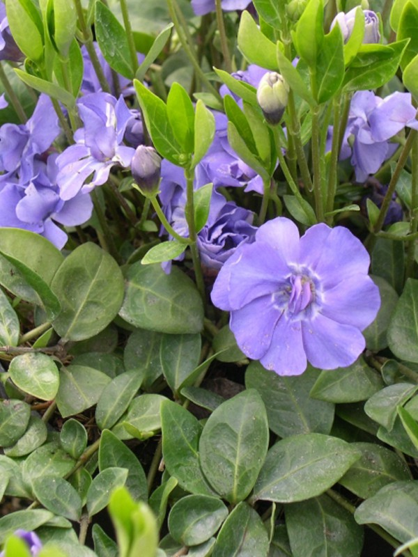 Petite pervenche 'Azurea Flore Pleno'