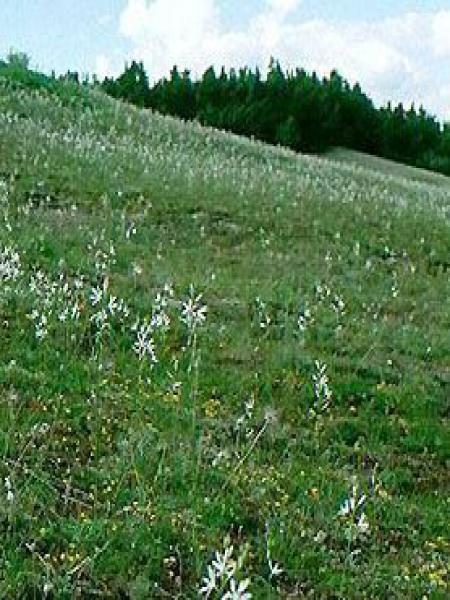 Phalangère à fleurs de lis
