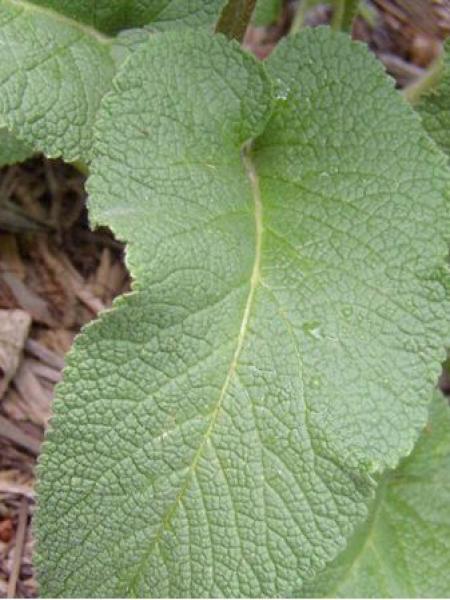 Phlomis cashmeriana