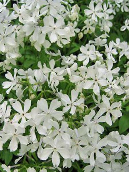 Phlox divariqué 'White Perfume'