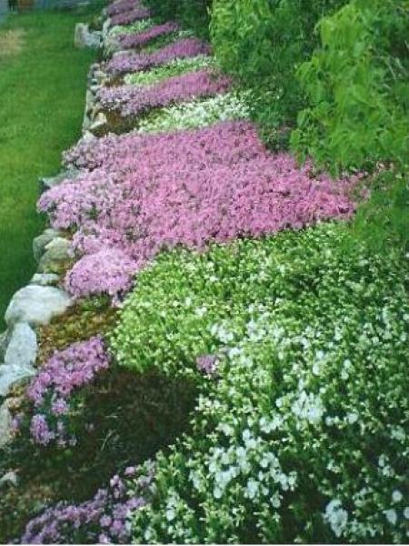 Phlox mousse 39 atropurpurea 39 phlox subulata le jardin du pic vert - Phlox vivace couvre sol ...