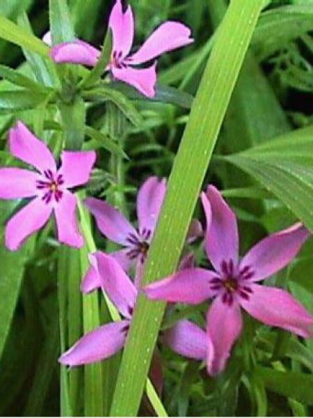 Phlox mousse 'Atropurpurea'
