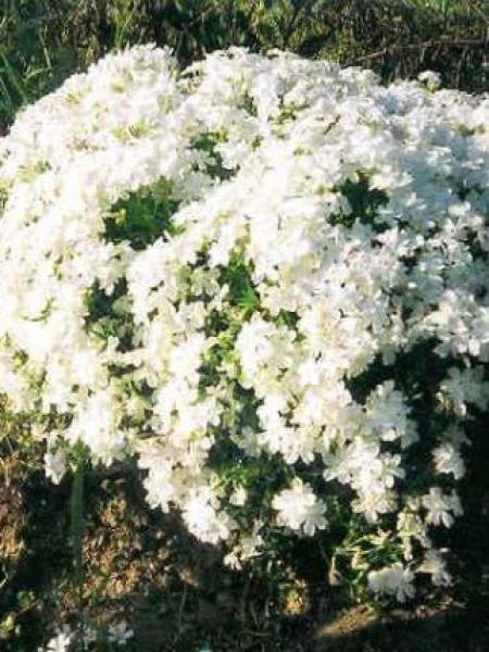Phlox mousse 'Calvides White'