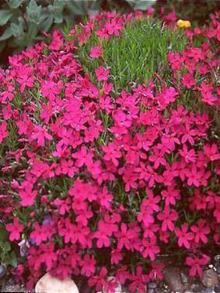 Phlox nain 'Crackerjack'