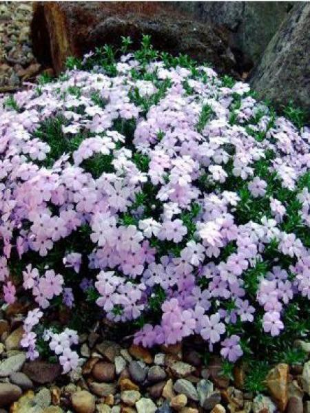 Phlox nain 'Lilac Cloud'