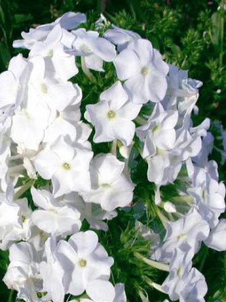 Phlox nain 'White Admiral'