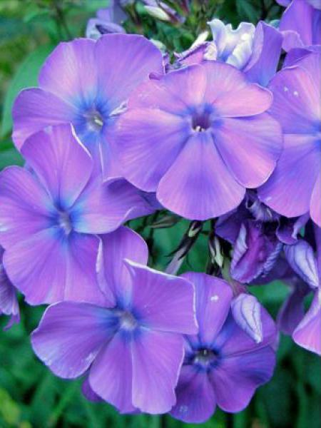 Phlox paniculé 'Blue paradise'
