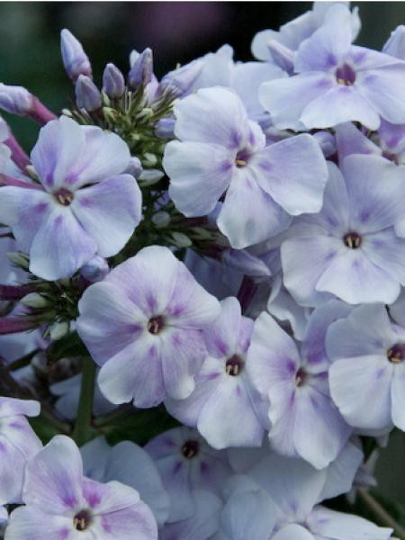 Phlox paniculé 'Lavendelwolke'