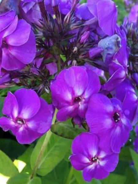Phlox paniculé 'Lilac Flame'